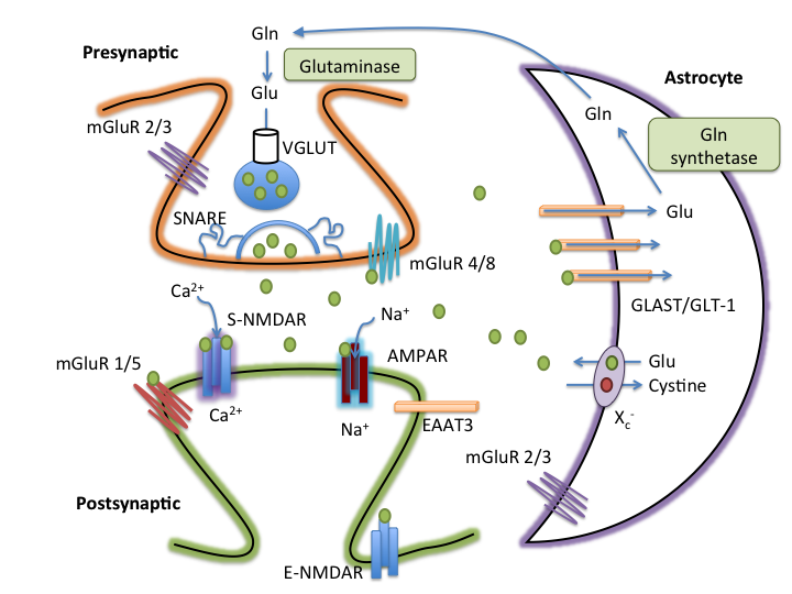The Role Of The Tripartite Glutamatergic Synapse In The