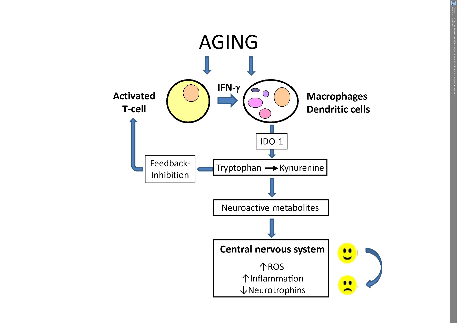 Role of Dietary Protein and Muscular Fitness on Longevity and Aging